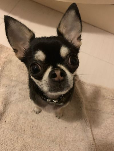 Chihuahua One Animal Mammal Pets Domestic Animals Domestic Canine Dog