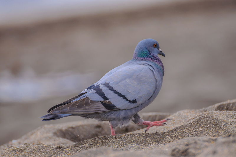 Close-up of pigeon perching on a wall