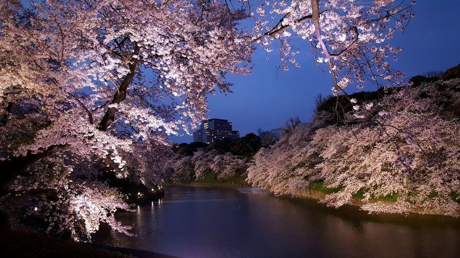 River amidst cherry tree at dusk