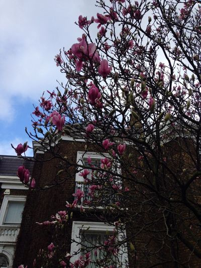 Blooming magnolias at the beginning of February. Crazy! London Bayswater Magnolia Tree Magnolia Blooming Bloom Flowers Nature February Winter Trees