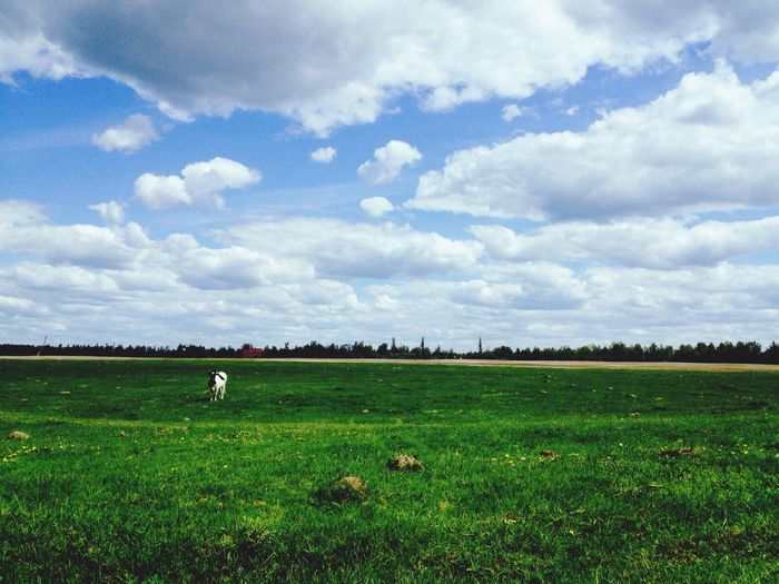 Naturelovers Countryside Grass Green Cows Sky Clouds Nature Spring Ukraine