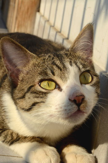 Lucky Animal Themes Cat Close-up Curiosity Cute Day Domestic Animals Domestic Cat Eyes Feline Green Eyes Looking At Camera Lying In Wait Fo Mammal No People One Animal Pets Portrait Whisker