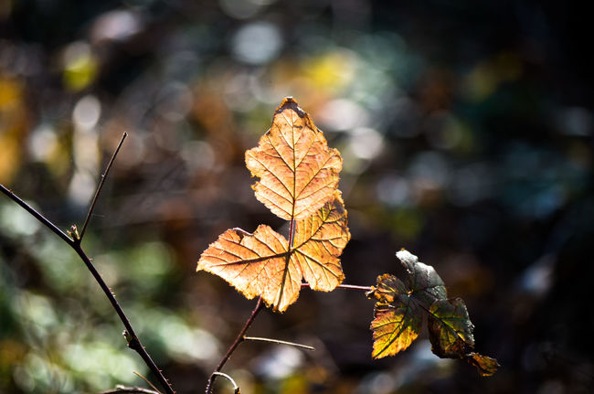 Autumn Beauty In Nature Change Close-up Day Dry Focus On Foreground Fragility Leaf Nature Outdoors EyeEmNewHere