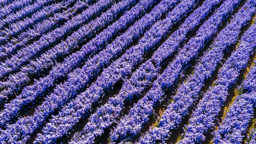 Full frame shot of lavender growing on field