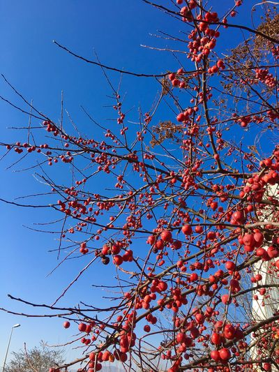 Growth Low Angle View Nature Tree Red Beauty In Nature Branch Day No People Clear Sky Outdoors Freshness Sky Rowanberry Close-up Frainf