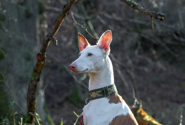 Ibizan Hound Looking Away Against Trees