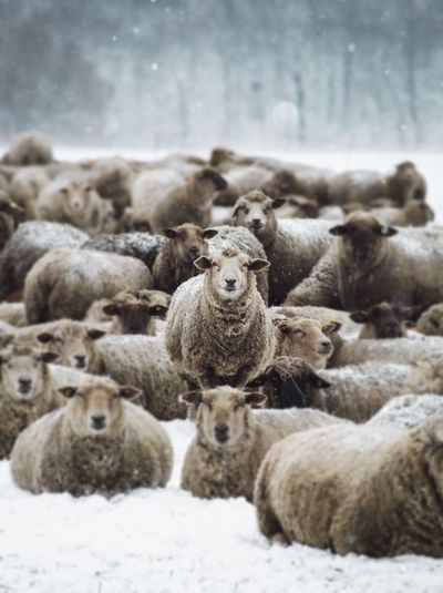The sheep gang Sheep Sheeps Animal Animals In The Wild Mammal Large Group Of Animals Cold Temperature Outdoors My Best Photo