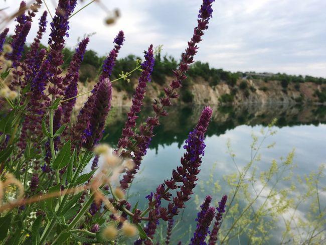 Flower Salvia Шалфей шалвія Water Quarry