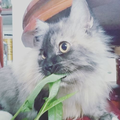 Chika Kitten Enjoy Eating Spinach Pet Portraits