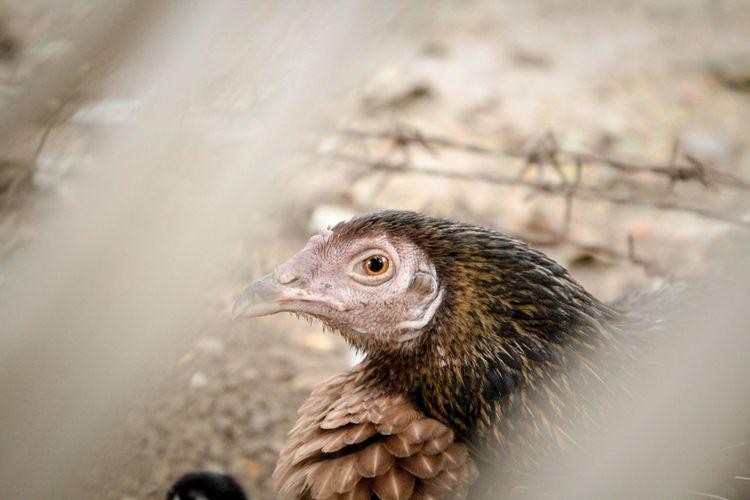 Close-up of a bird  hen  chick