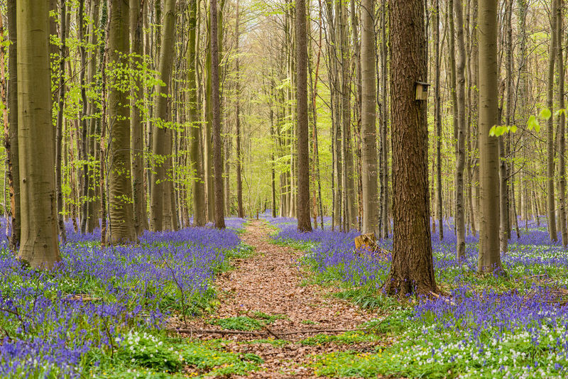 Path through spring forest Hallerbos Beauty In Nature Day Flower Forest Freshness Grass Green Color Growth Hallerbos Landscape Nature No People Non-urban Scene Outdoors Path In Nature Plant Scenics Springtime Summer Sunlight Tree Tree Trunk WoodLand