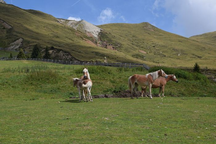 wild horses in mountains Alps Southtyrol Italy Animal Themes Beauty In Nature Field Grass Grassy Grazing Green Green Color Herbivorous Horse Italy Landscape Livestock Mammal Mountain Nature Non-urban Scene Pasture Scenics Southtyrol  Südtirol Tranquil Scene Two Animals