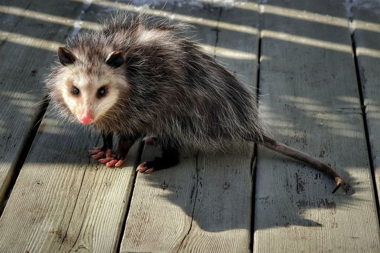 'Penelope the Possum' - the newest addition to our backyard 😊 Deck Light And Shadow Possum Backyardphotography Ontario, Canada Ray Of Light Winter Sunlight Animal Themes Close-up 17.62° My Best Photo