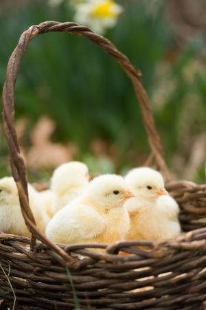 Basket of fluffy baby chicks Baby Chicks Basket Of Baby Chicks Chicks Easter Chicks Eye4photography  EyeEm Gallery Farm Animals Farm Life Farming Life On The Farm Organic Easter Easter Chicks Chick Easter Ready
