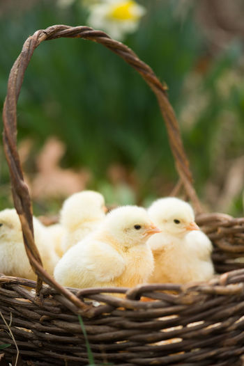 Close-Up Of Baby Chickens In Basket