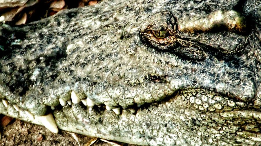 Animal Reptile Crocodile Fangs Jaw Eye Close-up Hello World Check This Out Hanging Out Danger Popular Popular Photos Life