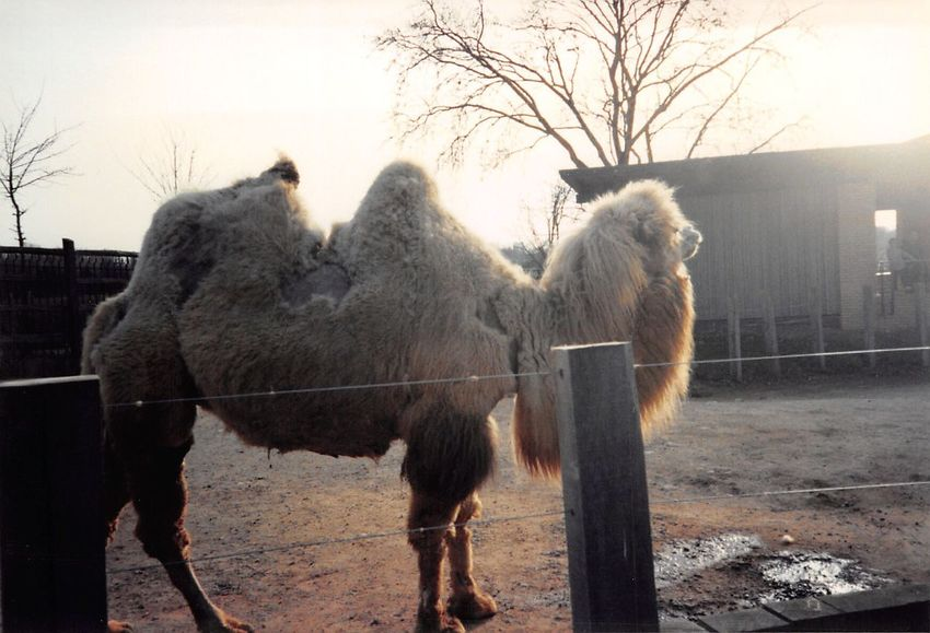 Camel Bactariancamel Hump Humpback Old Family Pictures Zoo Animalsfromthe90s