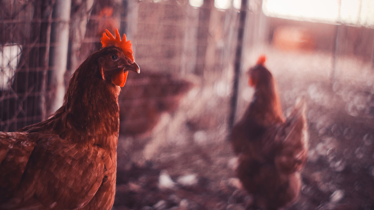livestock, chicken - bird, domestic animals, rooster, bird, hen, animal themes, cockerel, agriculture, no people, one animal, outdoors, animal crest, nature, day, close-up, mammal