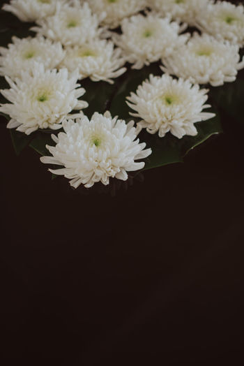 Close-up of white daisy flowers against black background