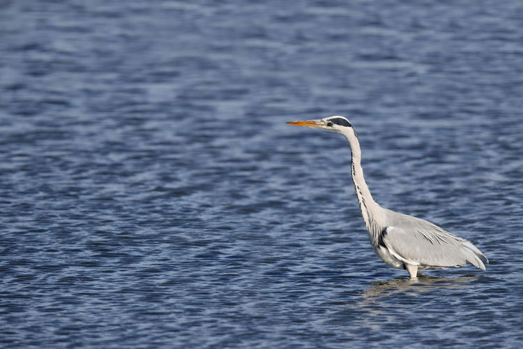 Side View Of Gray Heron On Water
