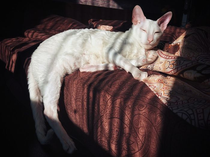 The cat is basked in the sun ☀️ Cornish Rex Cat And Sun The Cat Lies Relax Time  Relaxing Moments CAT IN THE SUN Cat In Bed Happy Pets Pets White Cat Lady Cat Domestic Animals Mammal Domestic Animal Cat Indoors  Domestic Cat One Animal Bed Relaxation Sunlight Animal Themes Feline Lying Down