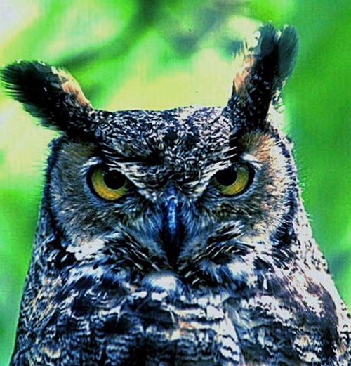 Village Scape. Angry Bird Owl.