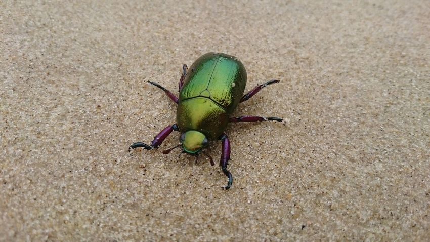 Besouro Beetle Insect Animals In The Wild Animal Themes One Animal Green Color No People Outdoors Sand Day Animal Wildlife Close-up Nature Beach