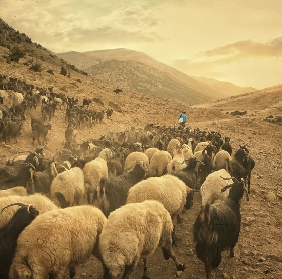 Flock Of Sheep On Field Against Mountains During Sunset