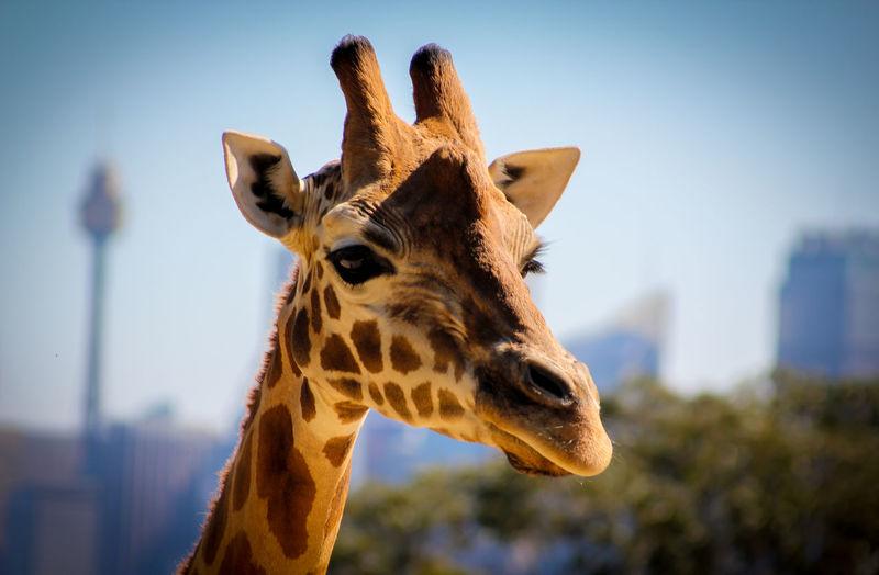 Close-up of giraffe at taronga zoo