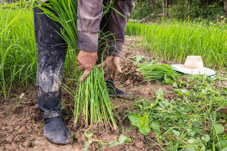 Agriculture Farmer Field Grass Land Occupation Paddy Field Working