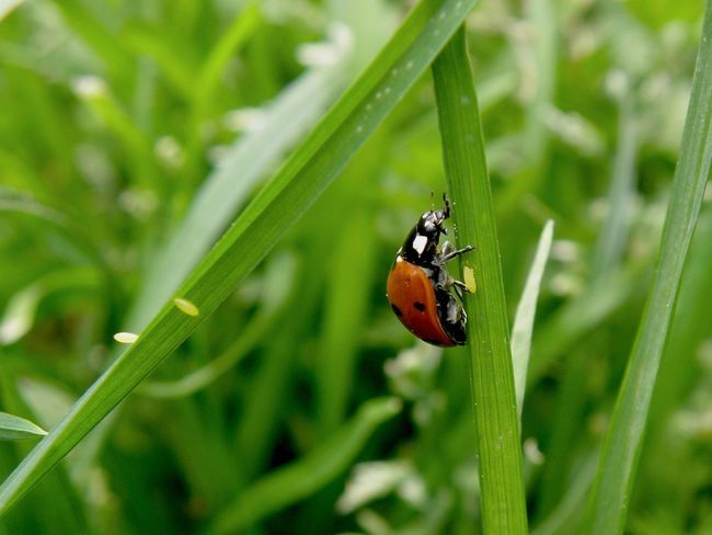 Ladybug Laying Eggs Eggs... Insect Macro  Insect Ladybird Ladybeetle Beatle Egg Animal Themes Ladybug Animals In The Wild Nature One Animal Growth Plant No People Green Color Leaf Outdoors Close-up Beauty In Nature Beetle Grass Day Tiny Investing In Quality Of Life Pet Portraits