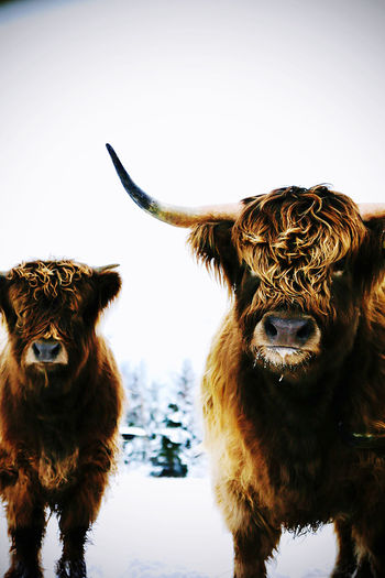 Portrait of two highland cattle cows