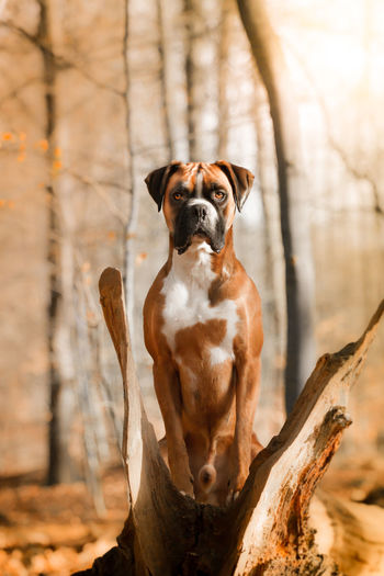 Wood Animal Themes Boxer Dogs Cute Dog  Day Dog Domestic Animals Focus On Foreground Looking At Camera Mammal Nature No People One Animal Outdoors Pets Portrait Tree Tree Trunk