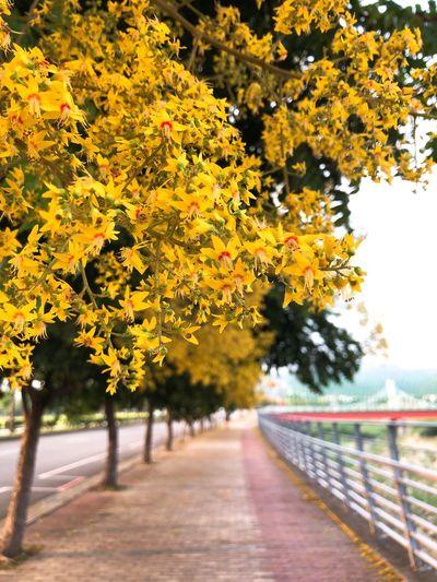 又到了欒樹開花變色的季節