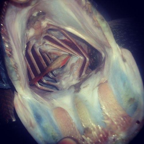 щука проглот окуньвнутри
