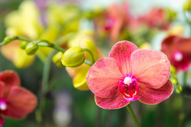 Flower Flowering Plant Plant Beauty In Nature Fragility Vulnerability  Petal Close-up Growth Freshness Focus On Foreground Pink Color Inflorescence Flower Head No People Day Nature Bud Outdoors Orchid