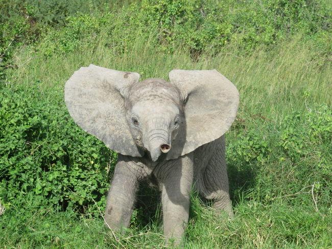 Young Animal Safari Animals Nature Animal Wildlife Herbivorous Babyelephant Elephant Gaming Animals In The Wild Kenya Africa Nairobi Baby Elephant