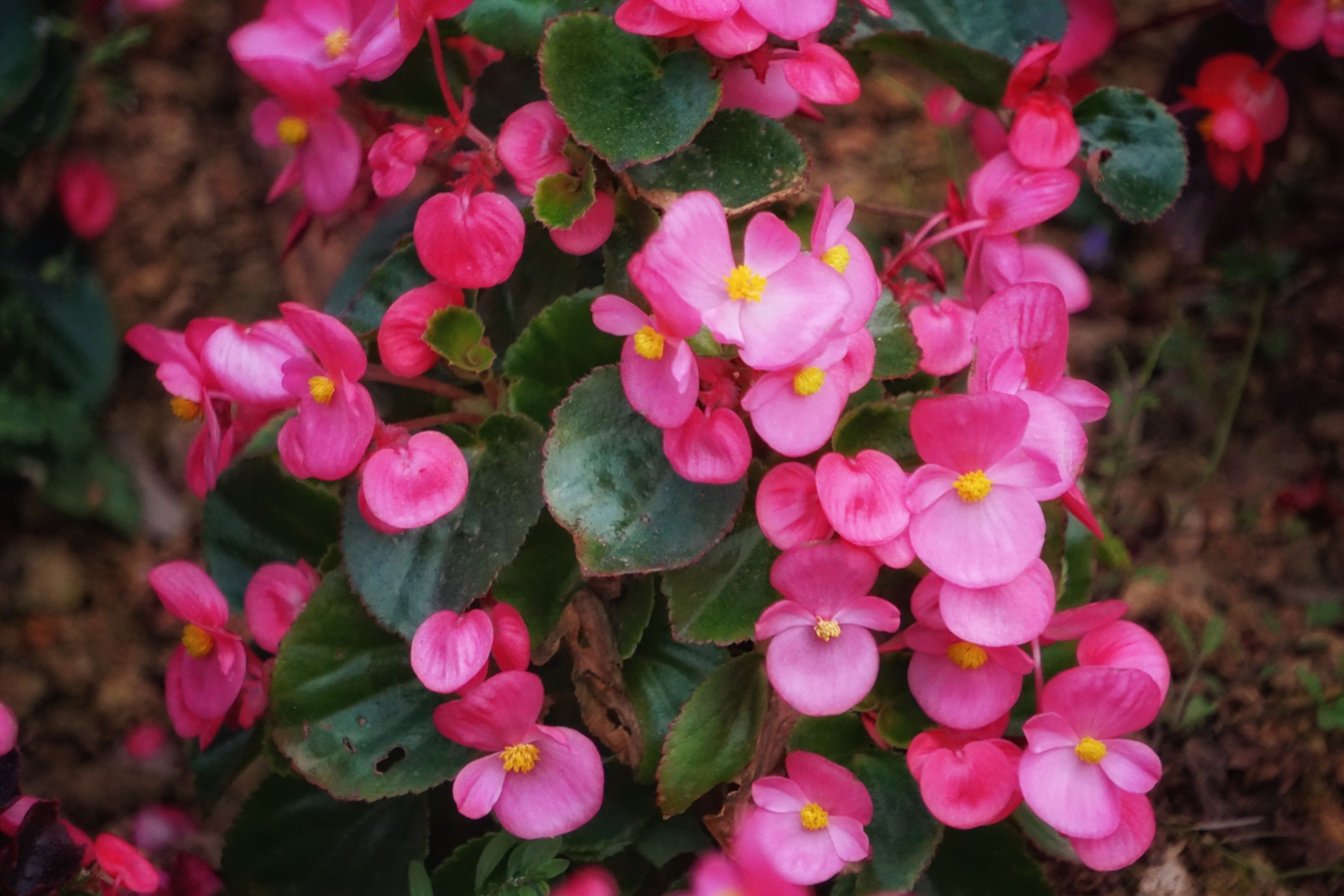 flower, freshness, pink color, petal, fragility, growth, beauty in nature, nature, flower head, close-up, blooming, plant, focus on foreground, in bloom, outdoors, day, no people, blossom, botany, selective focus, tranquility, growing, softness