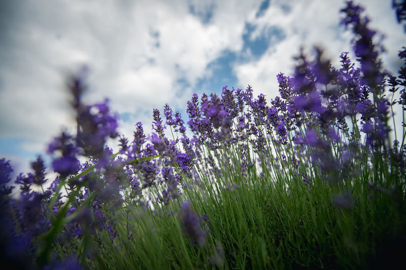 Low angle view of lavender flowers against cloudy sky