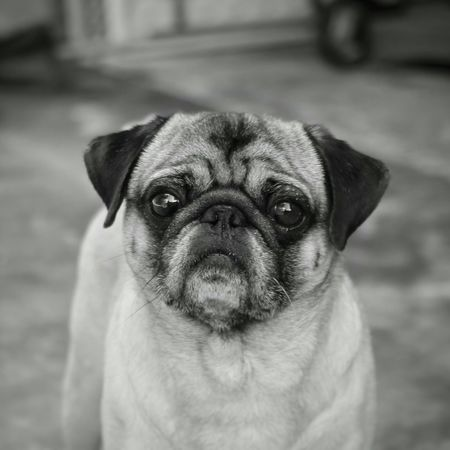 Potrait of my photogenic and cooperative dog Pug Pug Life  Pug Love Portrait Of A Dog Portrait Black And White Black And White Photography Black&white Eyem Best Shots - Black + White Eyeem Best Shots - Animals Animal Photography Animal Portrait Animal Posing Dogs Of EyeEm Dogs Dogstagram Pet Photography