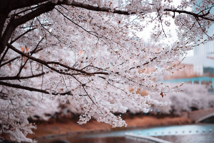 Close-up of cherry blossom tree during winter