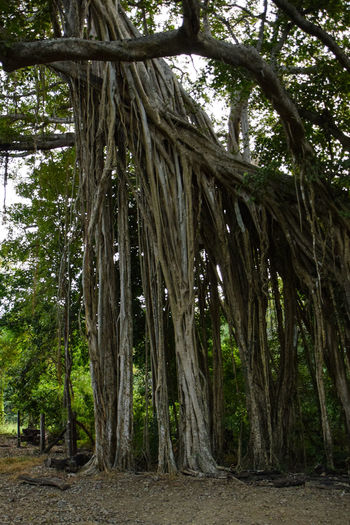 Banyan Tree Costa Rica Guanacaste  Guanacaste Costa Rica Guanacaste, Costa Rica Tropical Paradise Banya Banyan Banyan Tree Roots Banyan Tree Trunk Banyantree Beauty In Nature Branch Day Forest Growth Nature No People Outdoors Tree Tree Trunk Tropical Tropical Climate