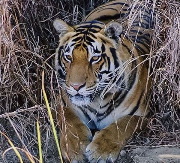 Predator Wildlife Encounter Animal Wildlife Eye Of The Tiger Tiger Lucky Sighting Nature Predators Close-up