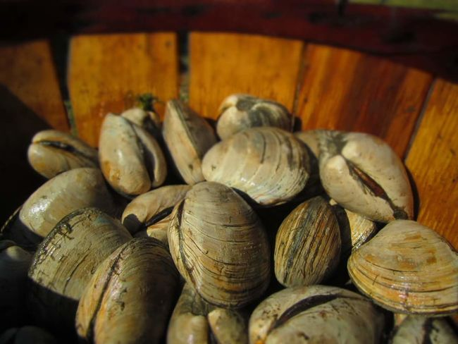 "Lynnhaven River ""Little Neck Clams"" Seafoods Classy Farm Life Old Bay Seasoning Food And Drink Food Healthy Eating Indoors  No People Business Finance And Industry Freshness Close-up Day"