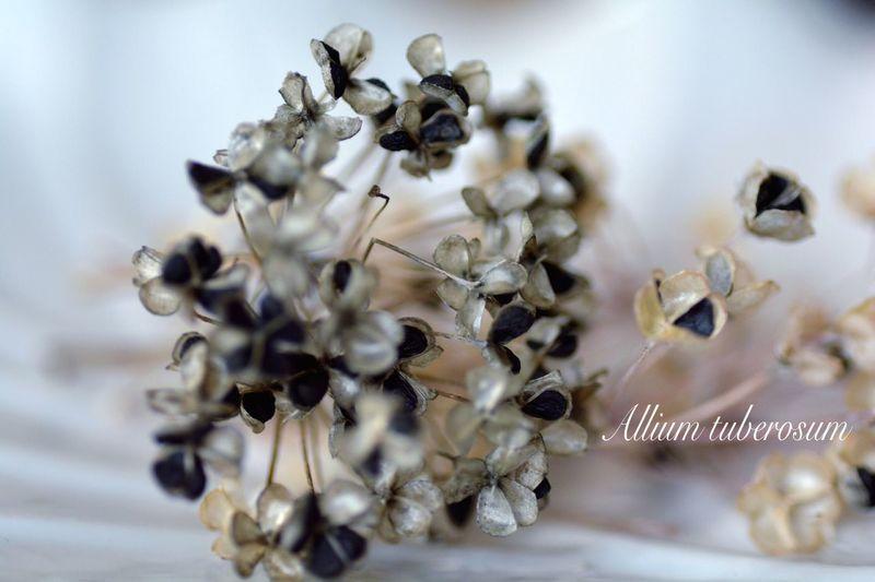 Japan EyeEm 2015 秋 自然の美 花が咲き終えた姿 ニラの種