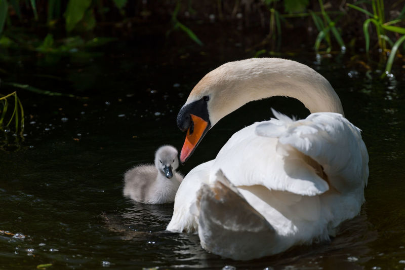 A young swan's first swim Animals In The Wild Avian Barrow Canal Beauty Beauty In Nature Bird Close-up Cygnet Floating On Water Love Nature Parental Love Peace River River Barrow Swan Swimming Teaching Tranquility Water Bird