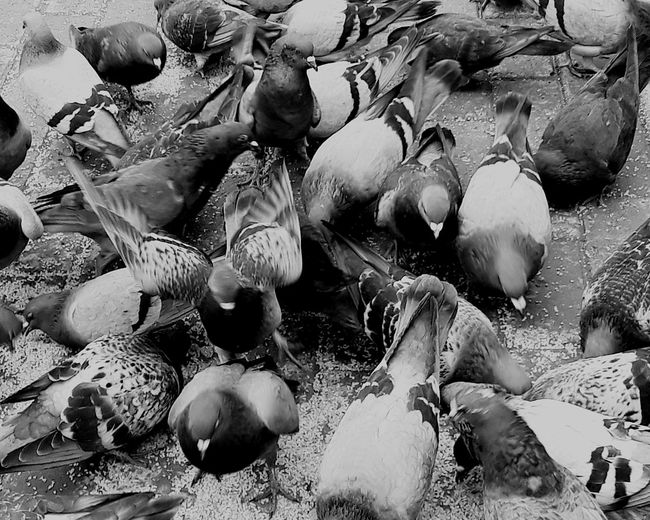 Blackandwhite Black White Birds Of EyeEm  Birds Bird Photography Birds Of EyeEm  Birds_collection Birds🐦⛅ Sea Life Animal Wildlife Backgrounds Full Frame No People Nature Animals In The Wild Animal Themes Day Bird Swan Large Group Of Animals High Angle View Colour Your Horizn EyeEmNewHere