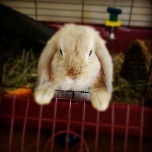 Little Latte spoiled little bunnie lol Bunnie Mylittlebunnie Hollandlop Cutie
