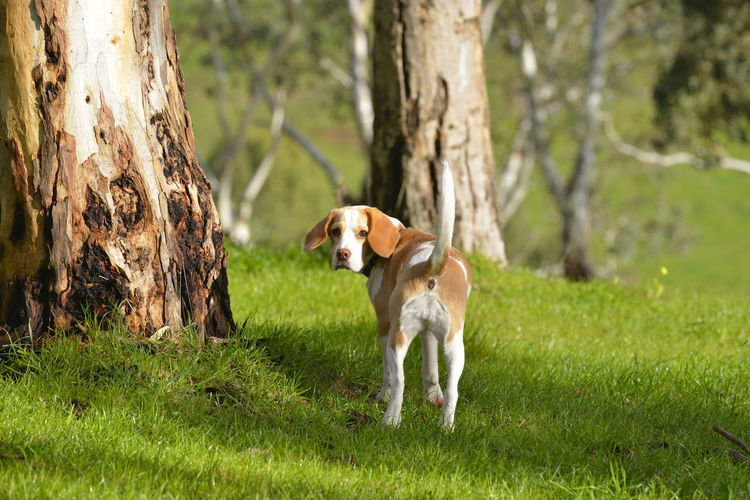 Field Grass Looking Back Tree Trunk Wandering Animal Themes Dog Pets Summer The Beagle Tail Up EyeEmNewHere