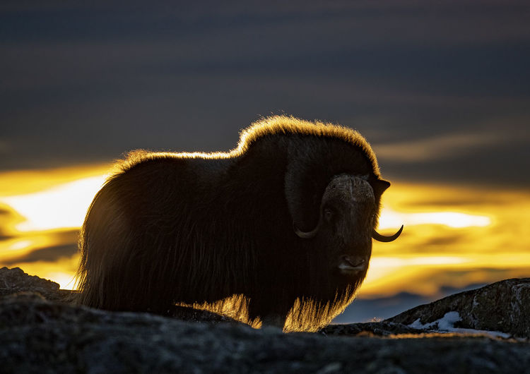 American bison standing on mountain against cloudy sky during sunset
